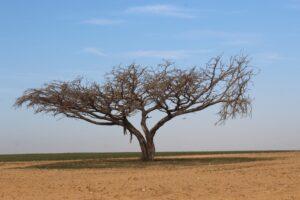 negev woestijn terebint