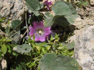 Saboneto bloem