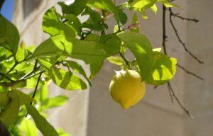 citroenboom jeruzalem