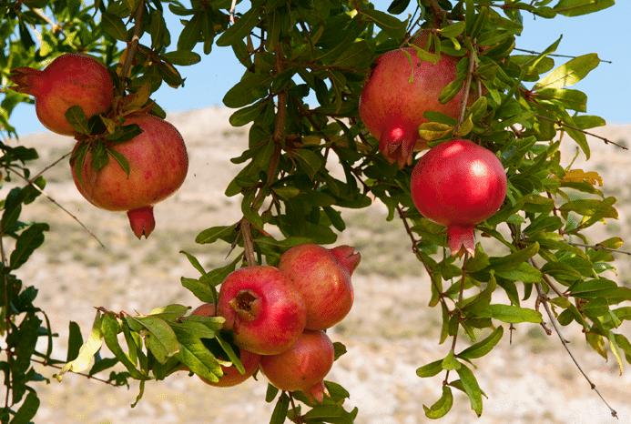 Bijbelse natuurreis naar Israël: De zeven vruchten!