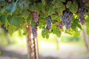 druiven Psagot Wines